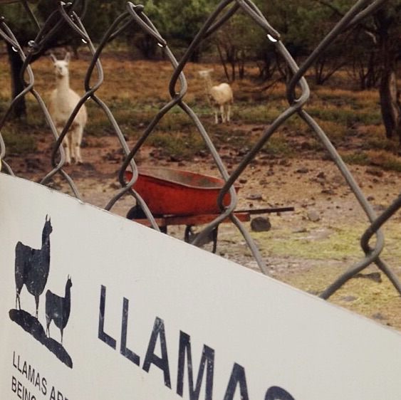 Llamas at ranch at fossil creek