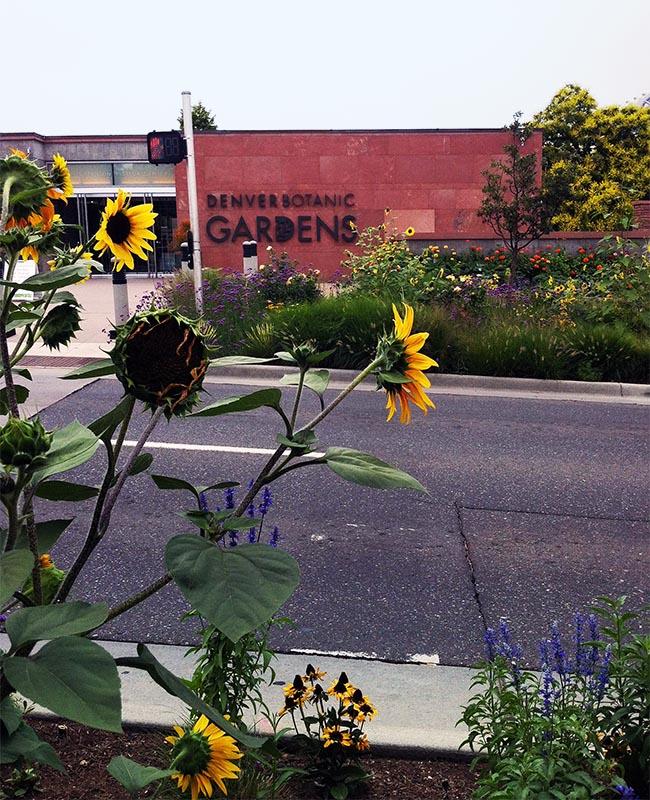 denver-botanic-gardens-sunflower
