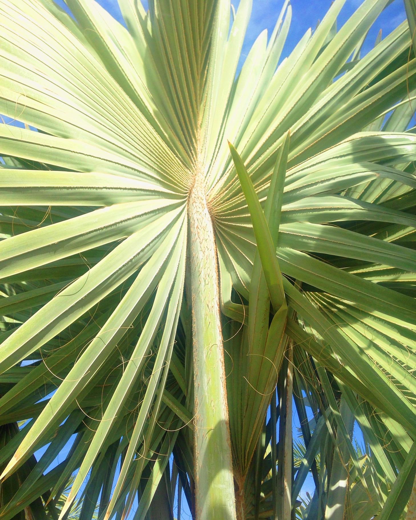 Palm yuma
