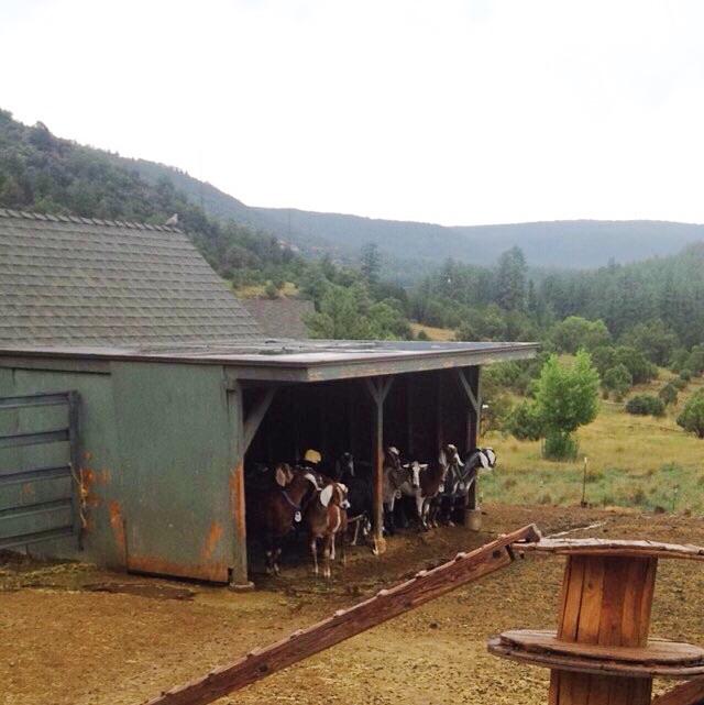 Fossil Creek Creamery: goats