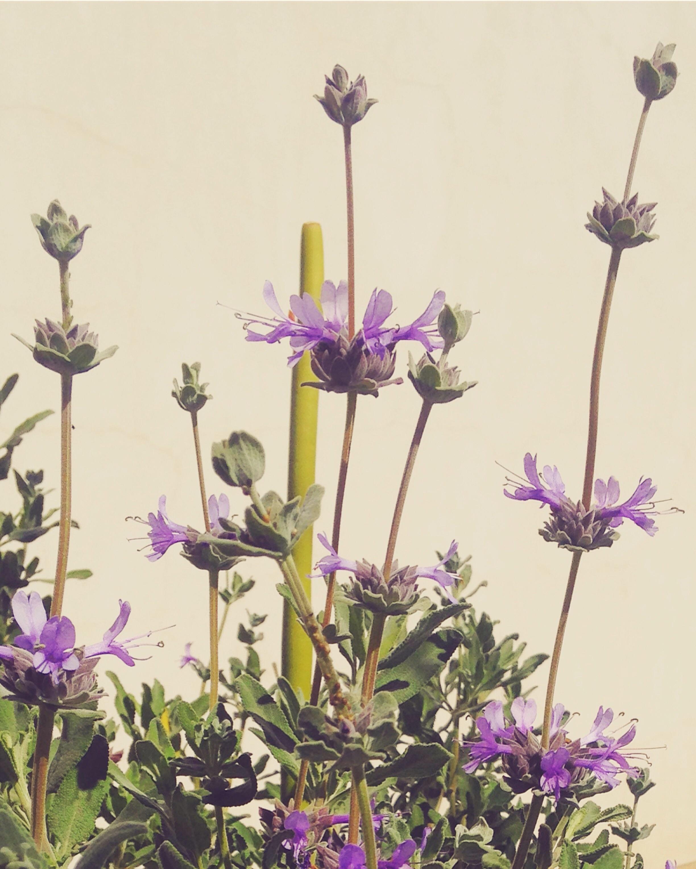 purple sage in tucson