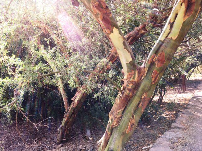 Palo verdes at arboretum