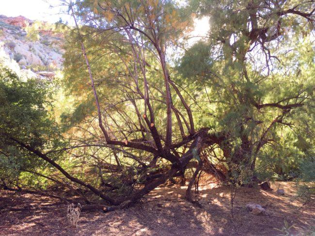 BTA tree